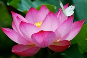 lotus_butterfly